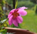 P. veitchii rosa