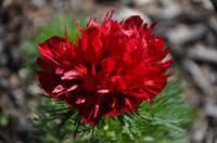 p. tenuifolia `Rubra Plena´